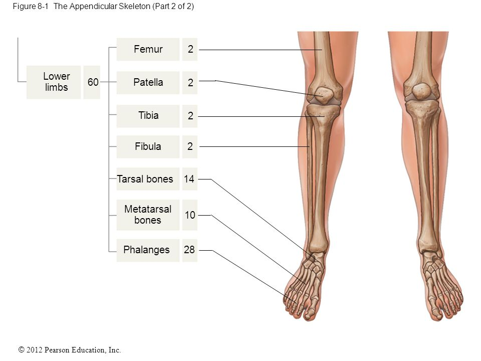 Figure 8-1 The Appendicular Skeleton (Part 2 of 2)