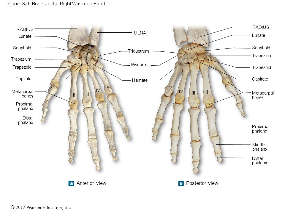 Figure 8-6 Bones of the Right Wrist and Hand