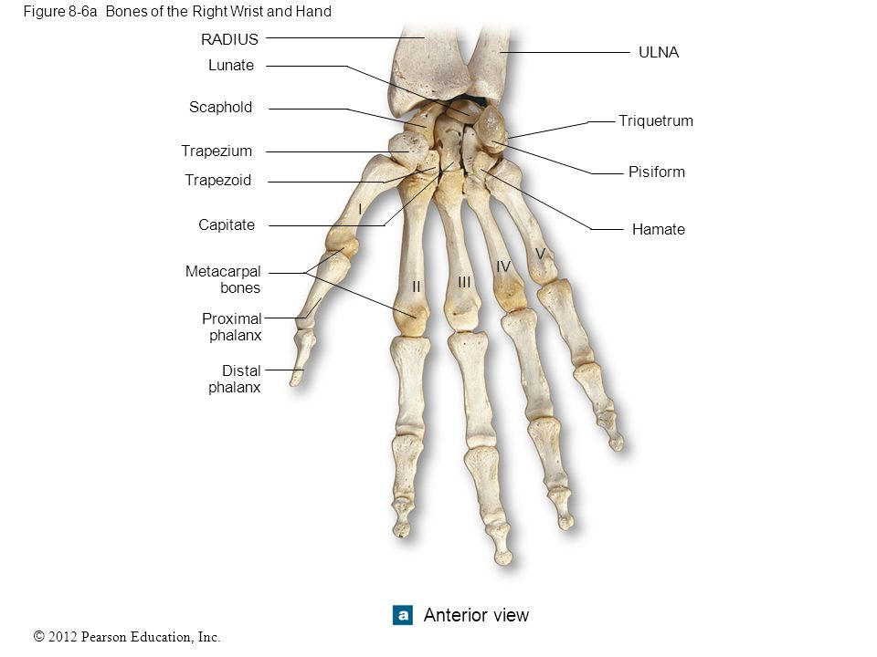 Figure 8-6a Bones of the Right Wrist and Hand