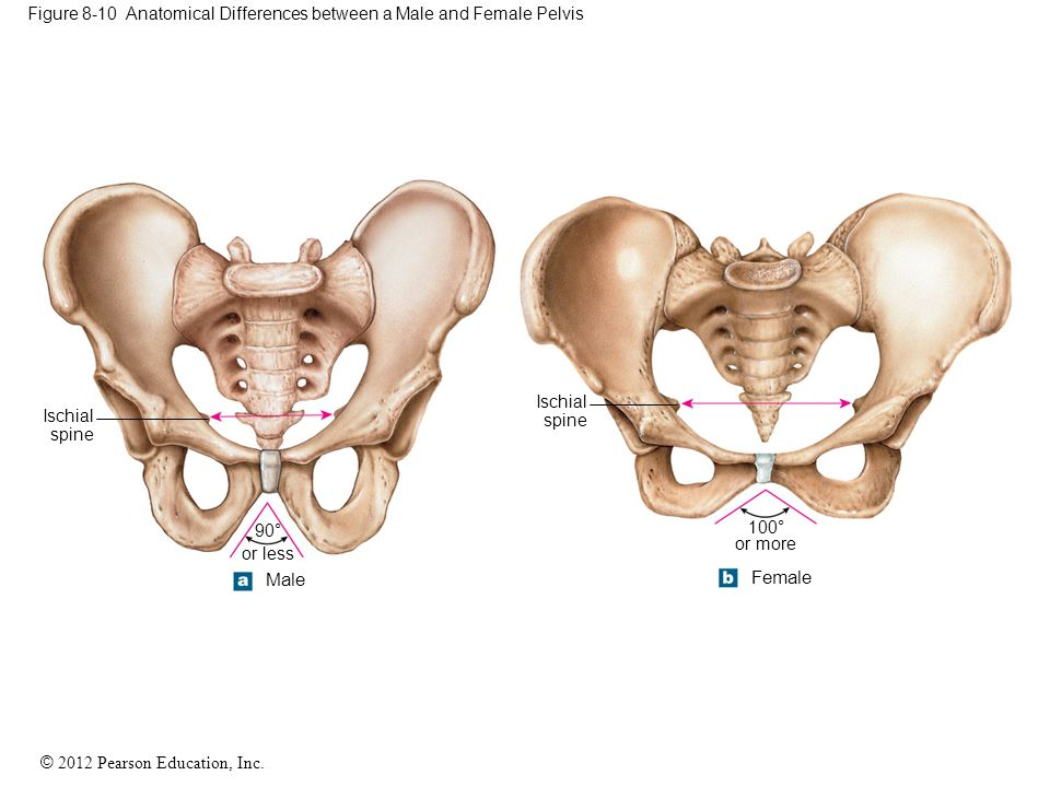 Figure 8-10 Anatomical Differences between a Male and Female Pelvis