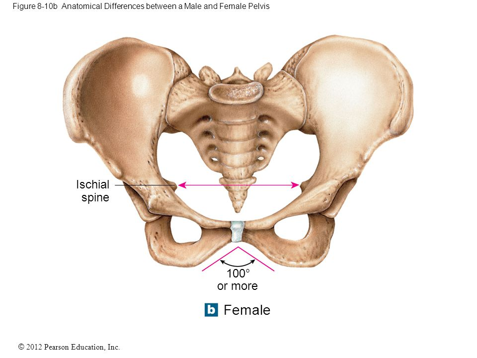 Figure 8-10b Anatomical Differences between a Male and Female Pelvis