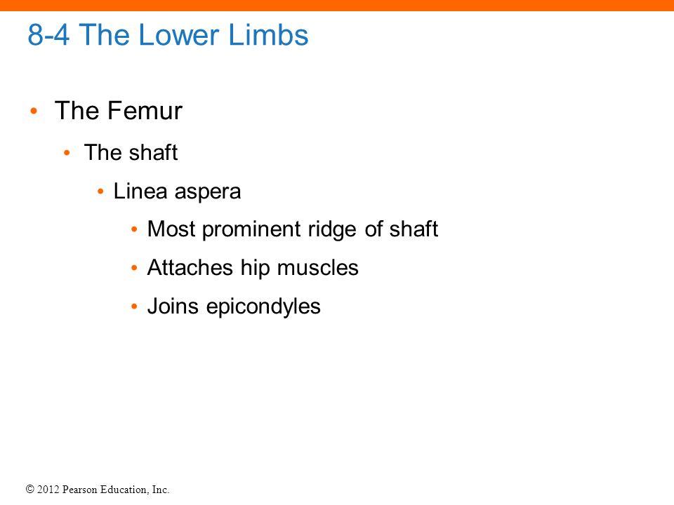 8-4 The Lower Limbs The Femur The shaft Linea aspera