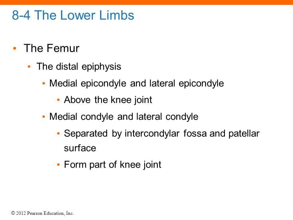 8-4 The Lower Limbs The Femur The distal epiphysis