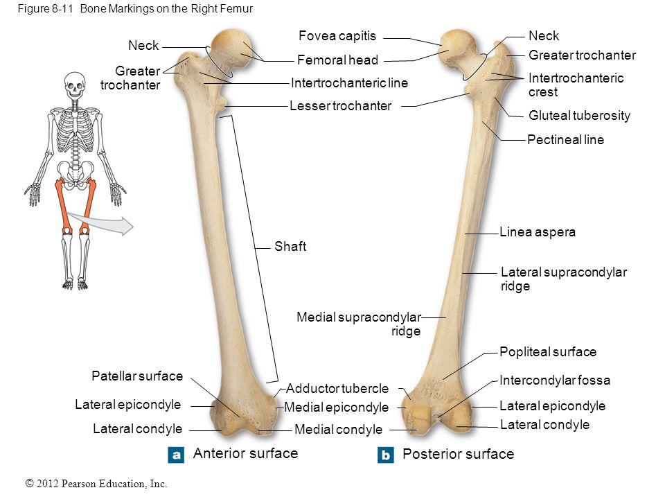 Figure 8-11 Bone Markings on the Right Femur