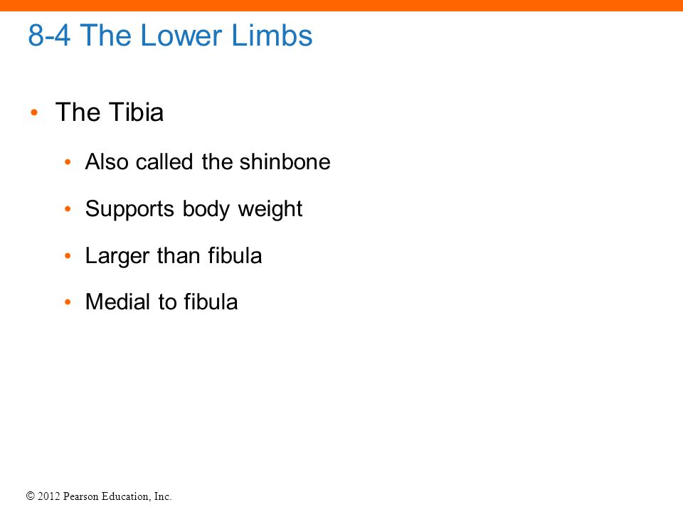 8-4 The Lower Limbs The Tibia Also called the shinbone