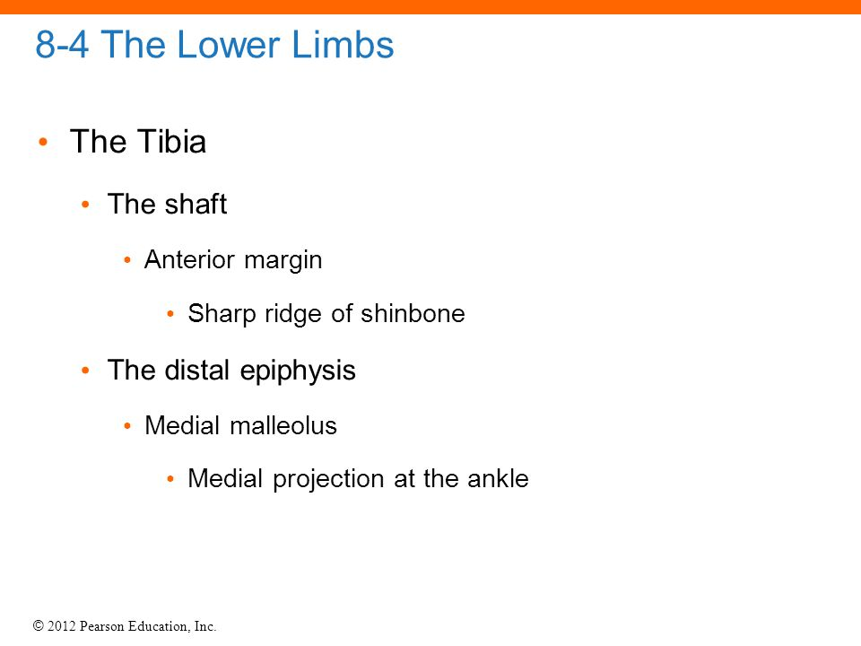 8-4 The Lower Limbs The Tibia The shaft The distal epiphysis