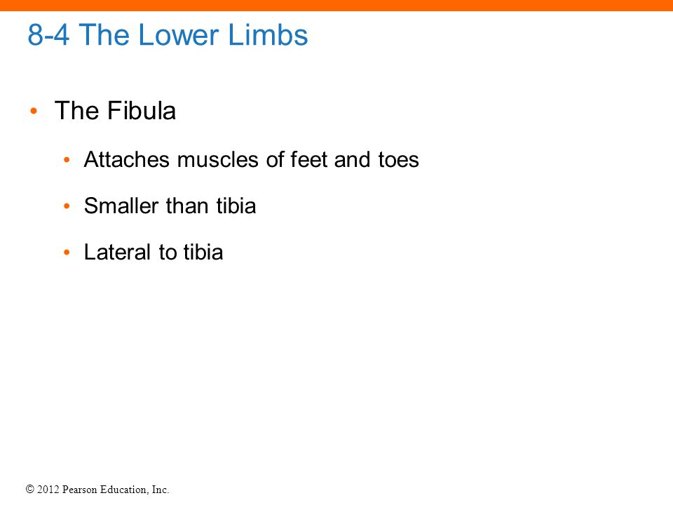 8-4 The Lower Limbs The Fibula Attaches muscles of feet and toes