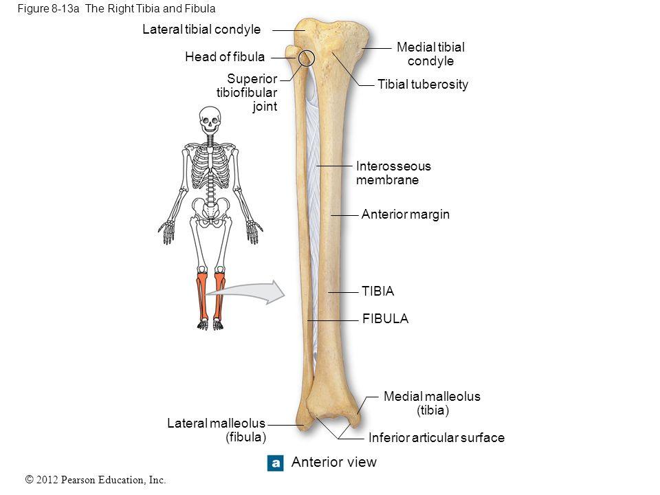 Figure 8-13a The Right Tibia and Fibula