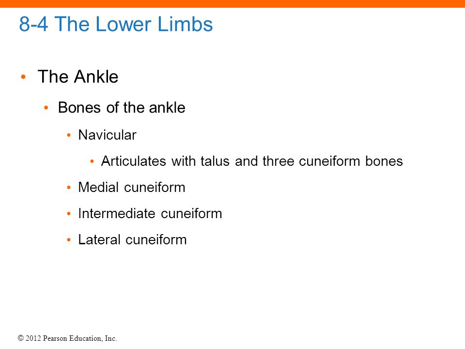 8-4 The Lower Limbs The Ankle Bones of the ankle Navicular