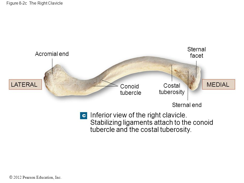 Figure 8-2c The Right Clavicle