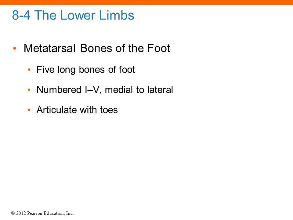 8-4 The Lower Limbs Metatarsal Bones of the Foot