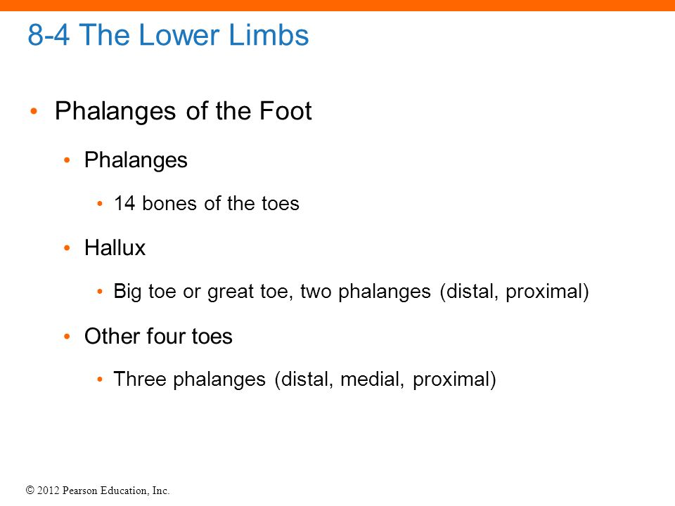 8-4 The Lower Limbs Phalanges of the Foot Phalanges Hallux