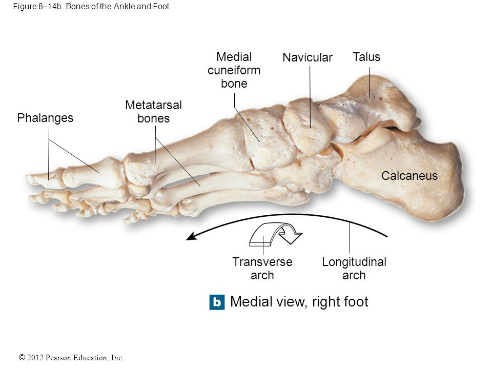 Figure 8–14b Bones of the Ankle and Foot