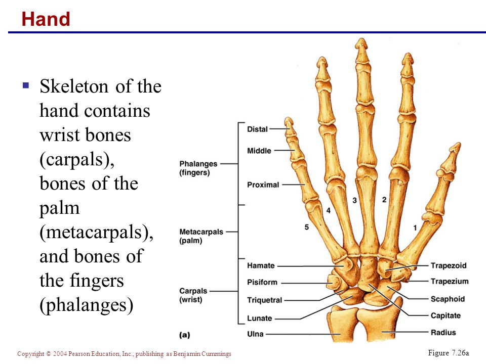 Hand Skeleton of the hand contains wrist bones (carpals), bones of the palm (metacarpals), and bones of the fingers (phalanges)