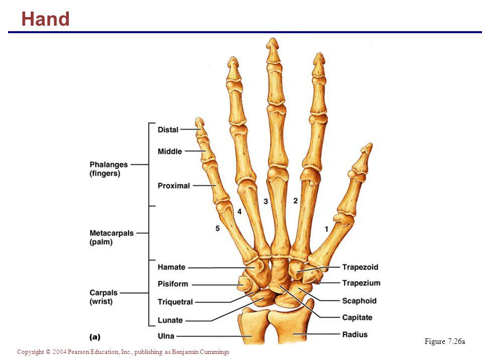 Hand Figure 7.26a