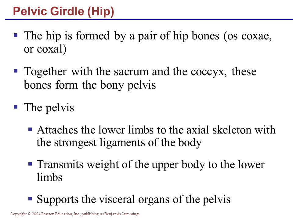 The hip is formed by a pair of hip bones (os coxae, or coxal)