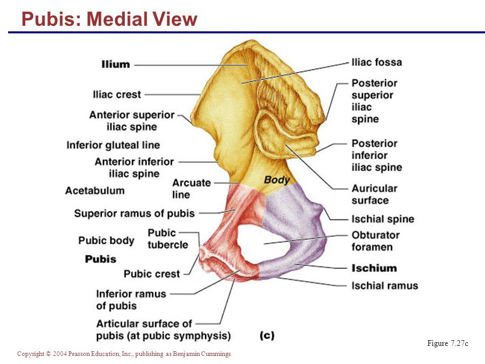 Pubis: Medial View Figure 7.27c