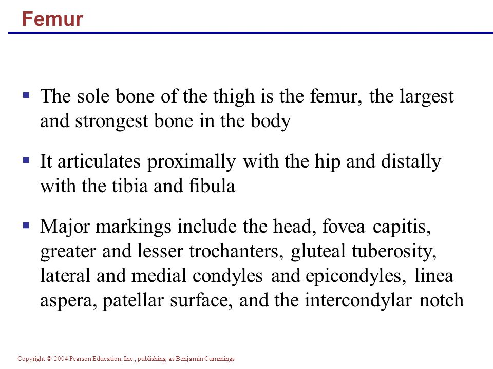 Femur The sole bone of the thigh is the femur, the largest and strongest bone in the body.