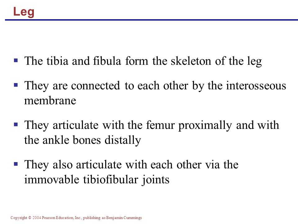 The tibia and fibula form the skeleton of the leg