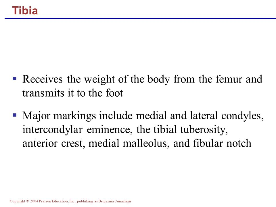 Tibia Receives the weight of the body from the femur and transmits it to the foot.