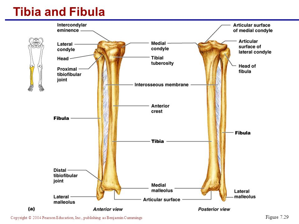 Tibia and Fibula Figure 7.29