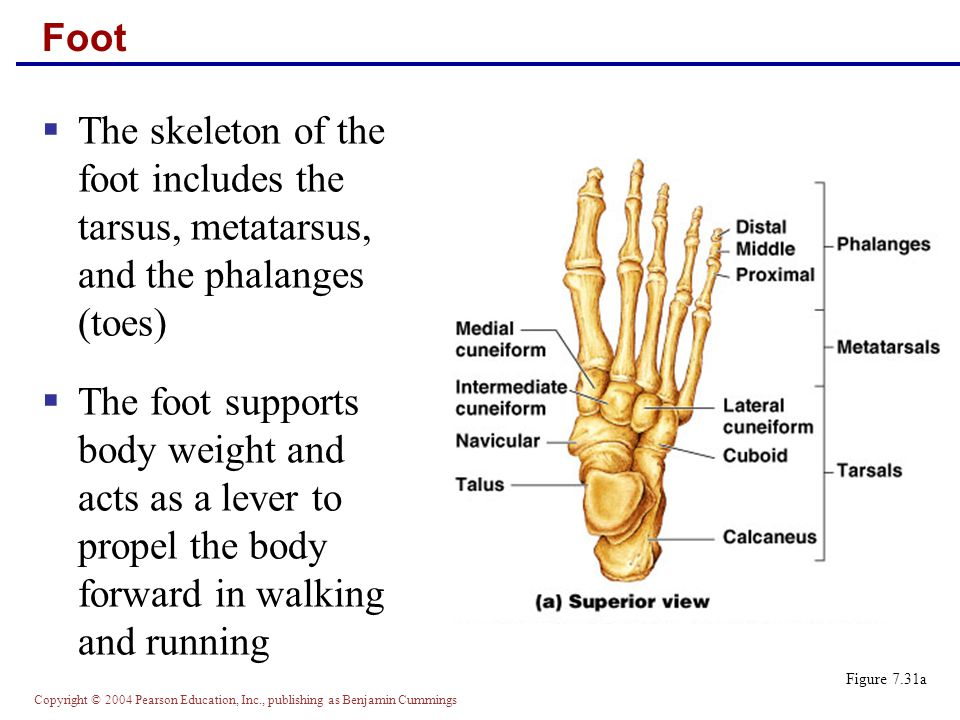 Foot The skeleton of the foot includes the tarsus, metatarsus, and the phalanges (toes)