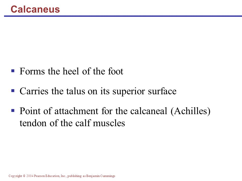 Forms the heel of the foot Carries the talus on its superior surface
