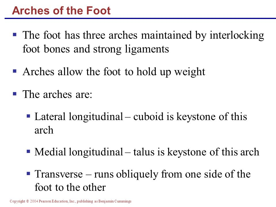 Arches allow the foot to hold up weight The arches are: