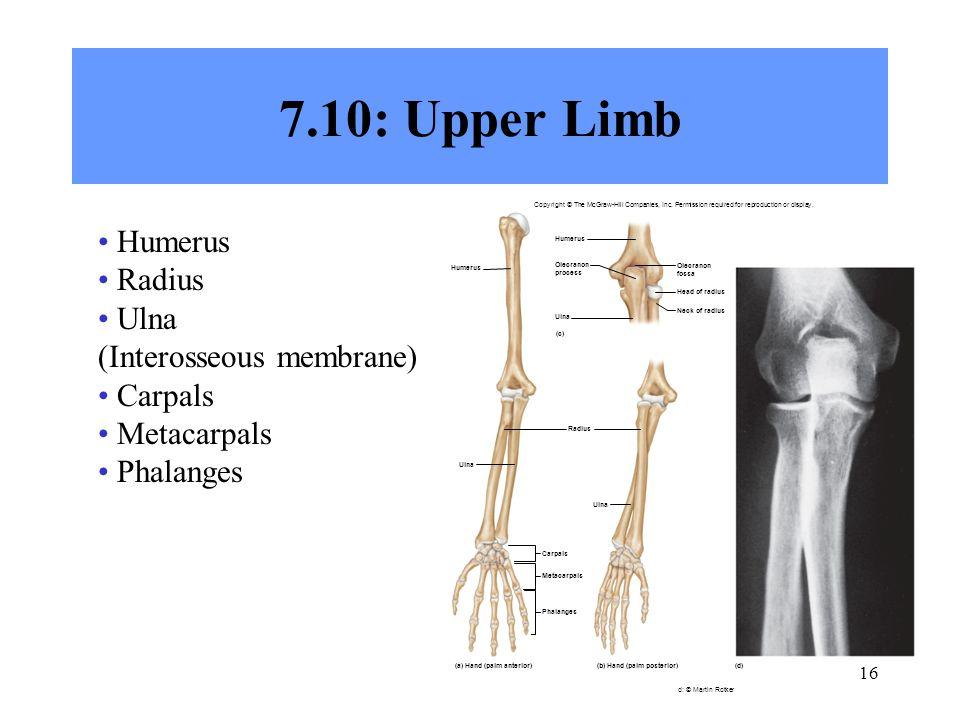 7.10: Upper Limb Humerus Radius Ulna (Interosseous membrane) Carpals