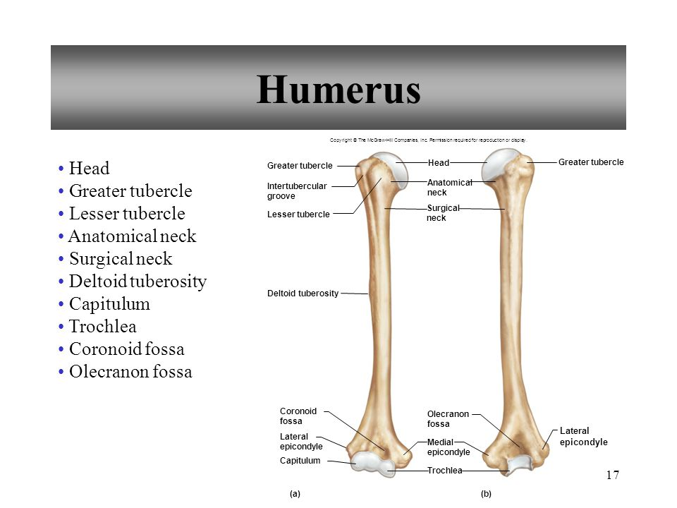 Humerus Head Greater tubercle Lesser tubercle Anatomical neck