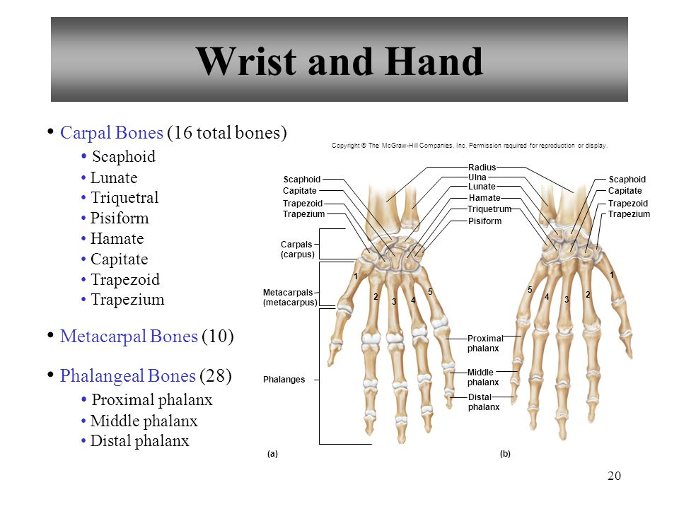 Wrist and Hand Carpal Bones (16 total bones) Metacarpal Bones (10)