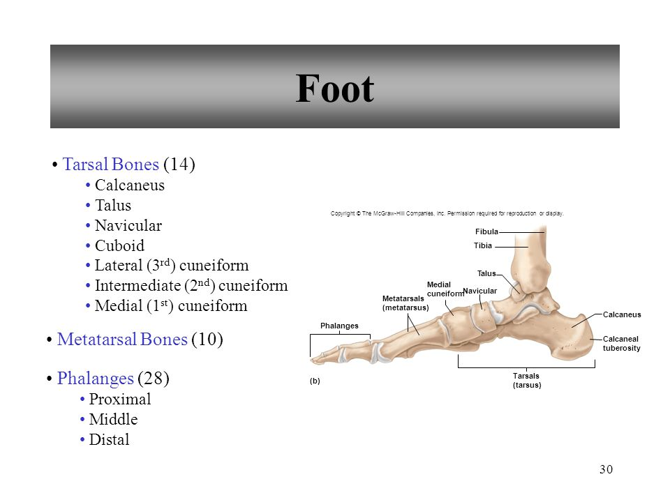 Foot Tarsal Bones (14) Metatarsal Bones (10) Phalanges (28) Calcaneus