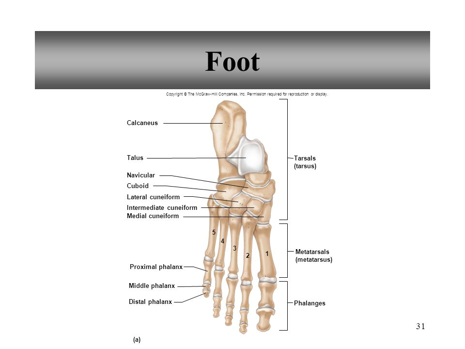 Foot Calcaneus Talus Tarsals (tarsus) Navicular Cuboid