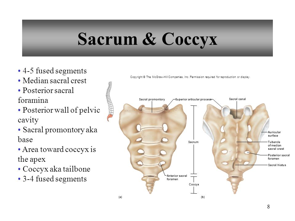 Sacrum & Coccyx 4-5 fused segments Median sacral crest