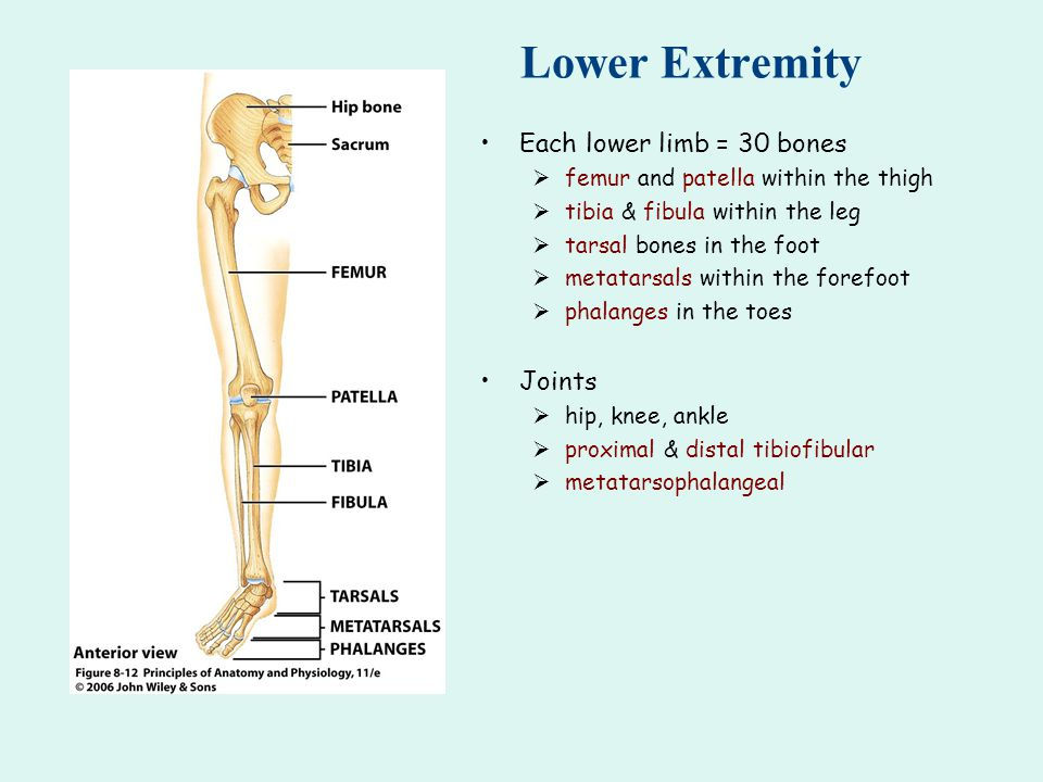 Lower Extremity Each lower limb = 30 bones Joints