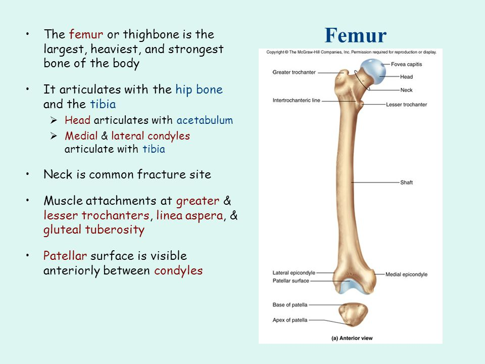 Femur The femur or thighbone is the largest, heaviest, and strongest bone of the body. It articulates with the hip bone and the tibia.