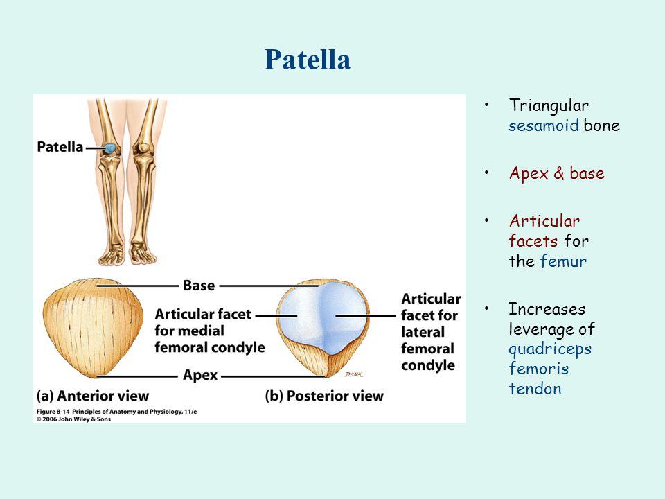 Patella Triangular sesamoid bone Apex & base