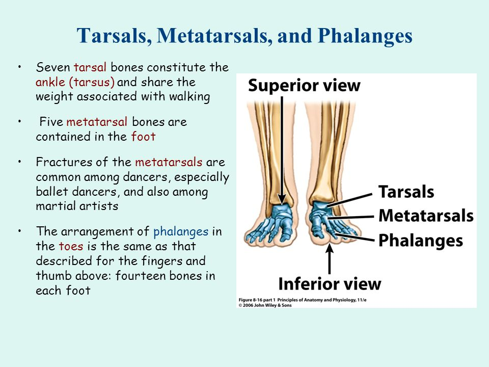 Tarsals, Metatarsals, and Phalanges