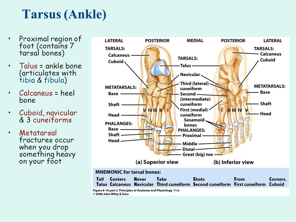 Tarsus (Ankle) Proximal region of foot (contains 7 tarsal bones)