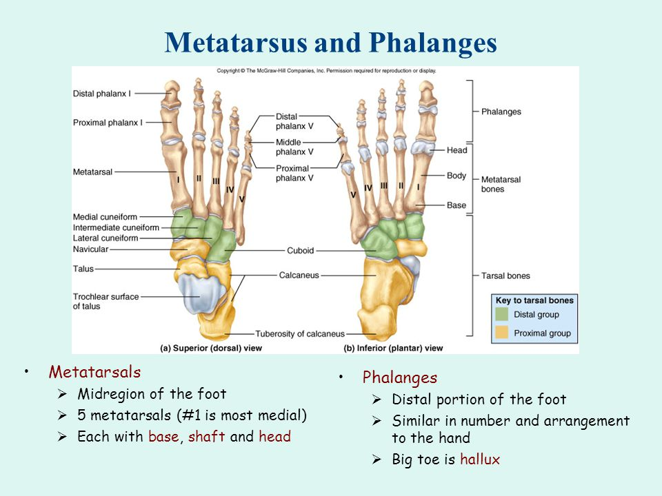 Metatarsus and Phalanges