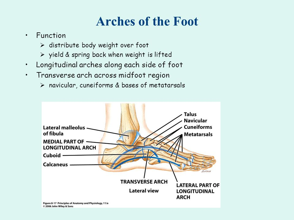 Arches of the Foot Function