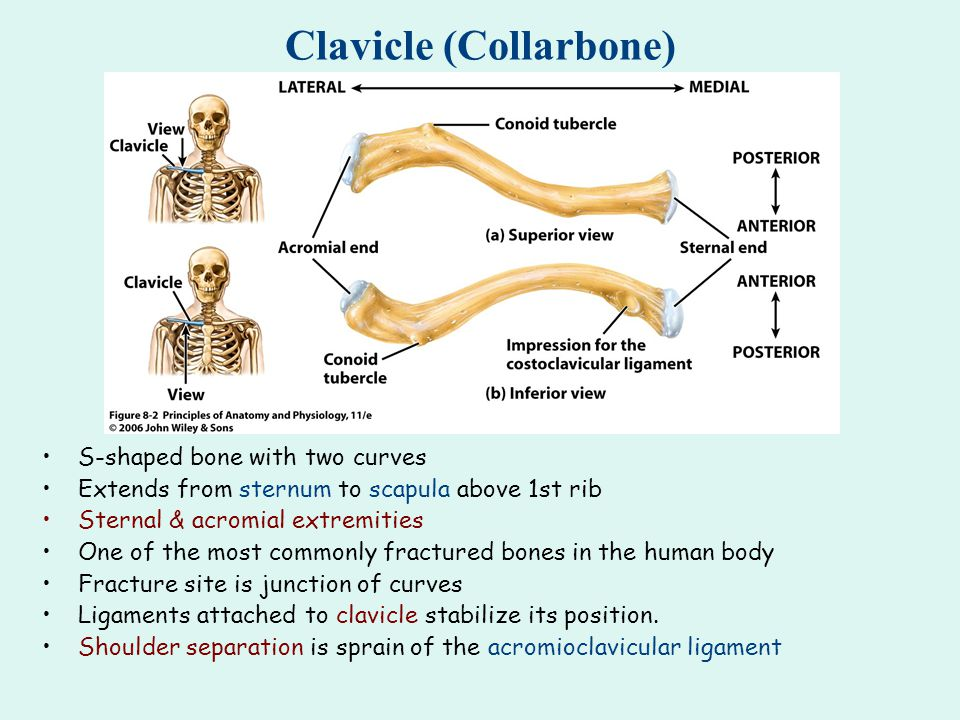 Clavicle (Collarbone)
