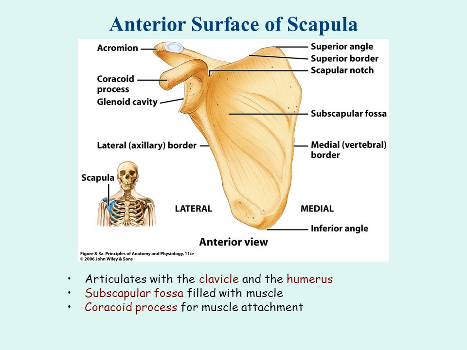 Anterior Surface of Scapula