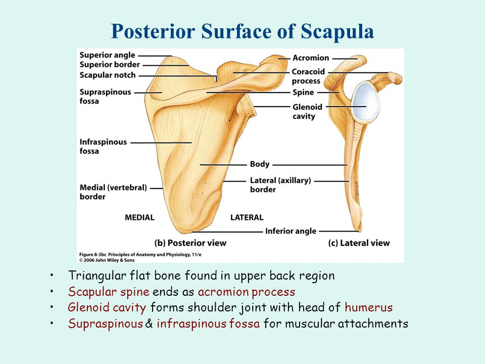Posterior Surface of Scapula