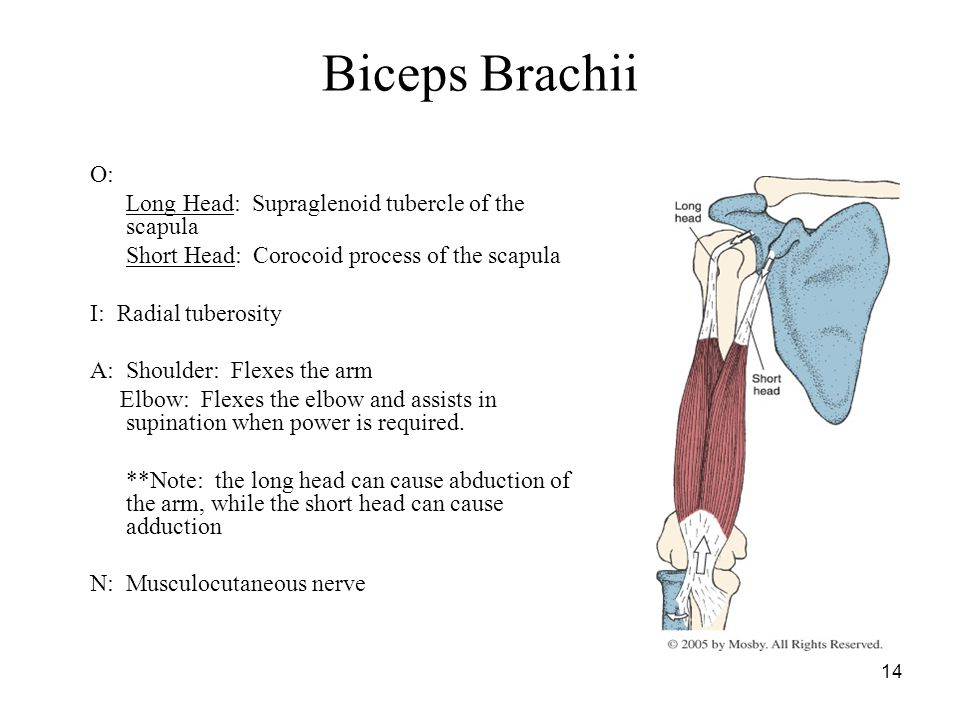 Biceps Brachii O: Long Head: Supraglenoid tubercle of the scapula