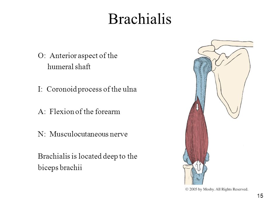 Brachialis O: Anterior aspect of the humeral shaft