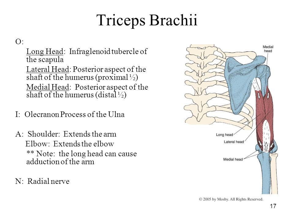 Triceps Brachii O: Long Head: Infraglenoid tubercle of the scapula