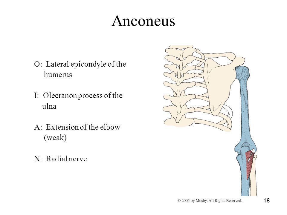 Anconeus O: Lateral epicondyle of the humerus