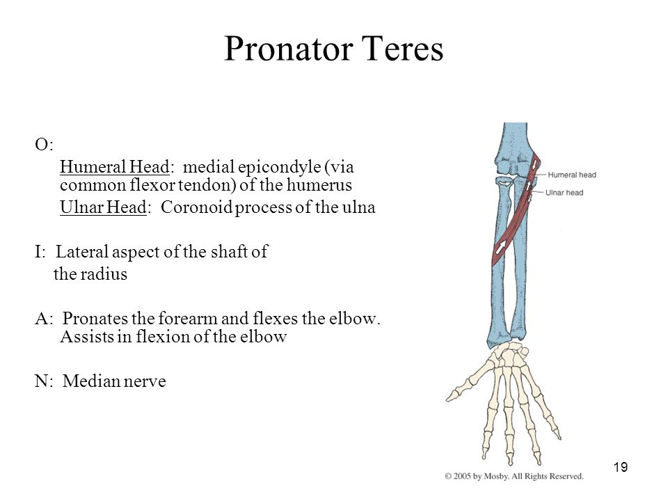 Pronator Teres O: Humeral Head: medial epicondyle (via common flexor tendon) of the humerus. Ulnar Head: Coronoid process of the ulna.
