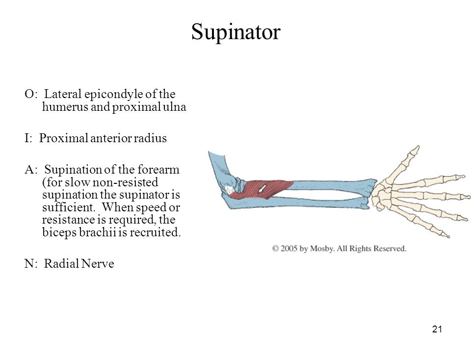 Supinator O: Lateral epicondyle of the humerus and proximal ulna
